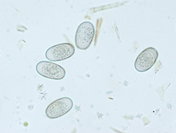 Coccidial Oocysts